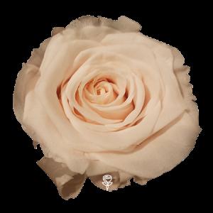 rosa preservada durazno barcelona