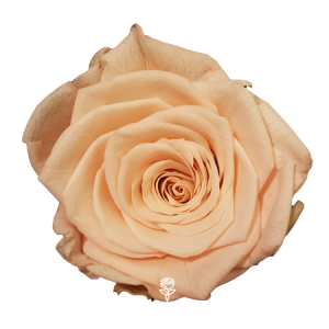 rosa preservada melocoton barcelona