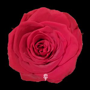 rosa preservada roja jdroses