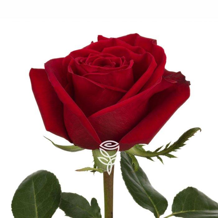 rosas rojas sant jordi